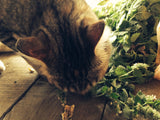 Cat Eating Catnip (Nepeta cateria) Fresh Plant Herb Leaf