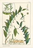 Solomon's Seal Root (Polygonatum biflorum) Vintage Botanical Illustration