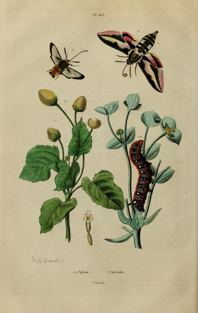 Spilanthes (Acmella oleracea) Vintage Botanical Illustration