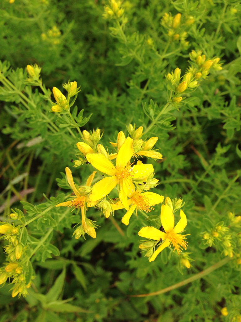 St. Johns Wort picture