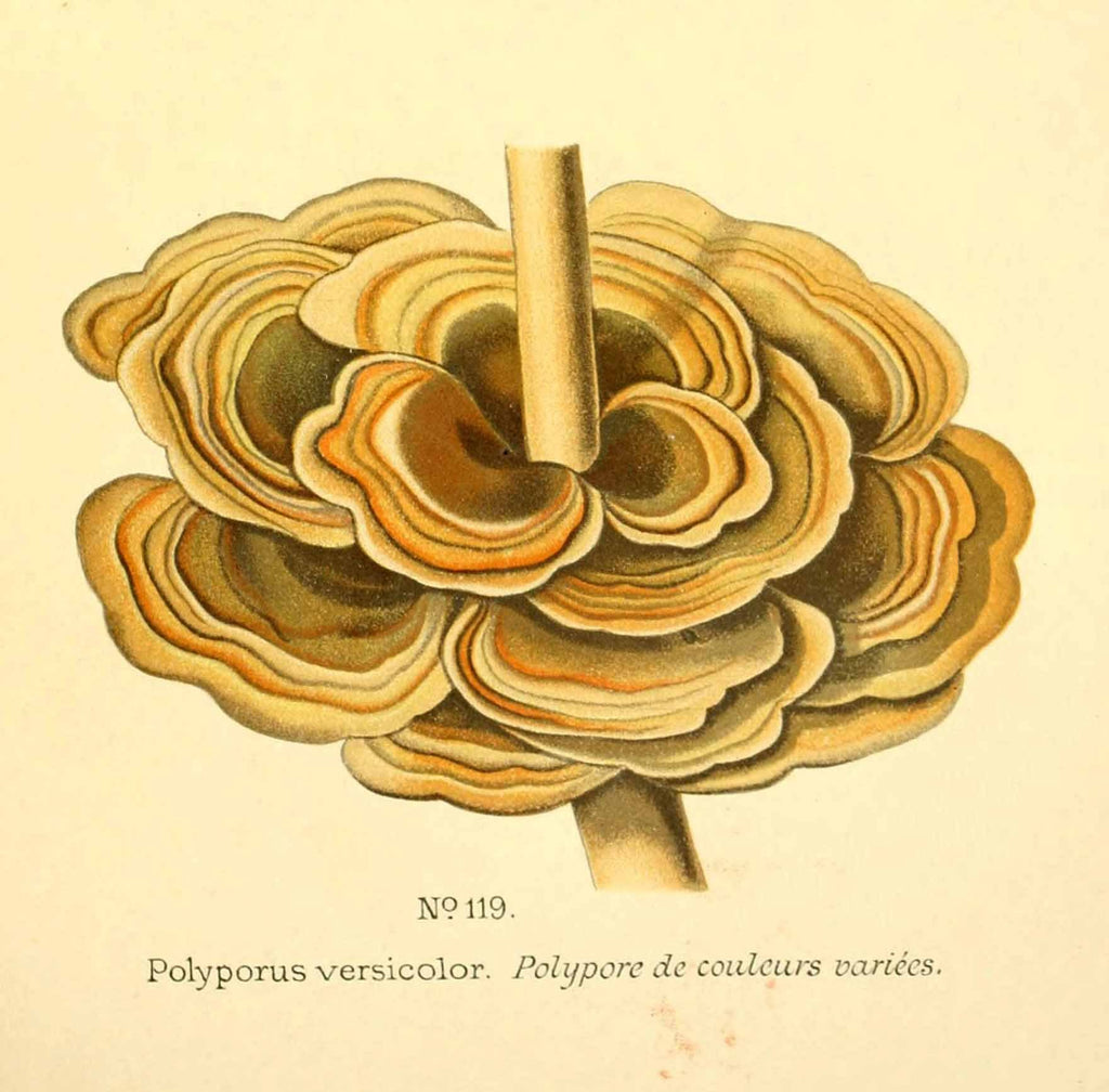 Turkey Tail Mushroom (Trametes versicolor) Vintage Botanical Illustration