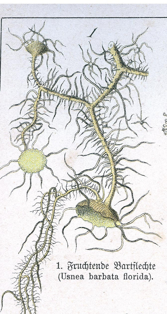 Usnea (Usnea spp.) Lichen Vintage Botanical Illustration