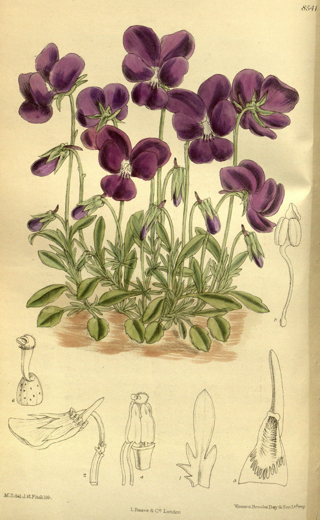 Violet (Viola spp.) Vintage Botanical Illustration
