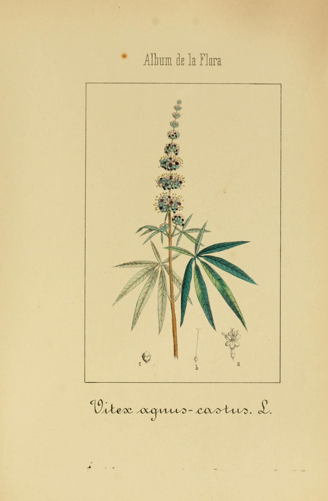 Vitex (Vitex agnus-castus) Vintage Botanical Illustration