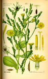 Wild Lettuce (Lactuca spp.) Vintage Botanical Illustration
