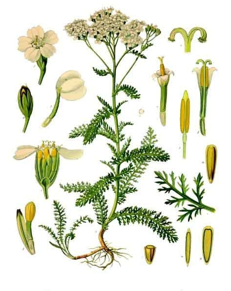 Yarrow (Achillea millefolium) Vintage Botanical Illustration