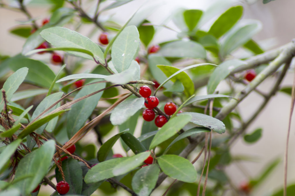 Yaupon Holly (Ilex vomitoria) Herb Plant Leaf and Berry