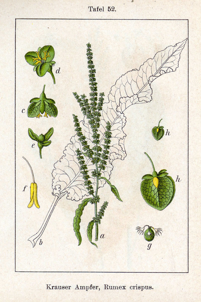 Yellow Dock (Rumex obtusifolius/crispus) Vintage Botanical Illustration