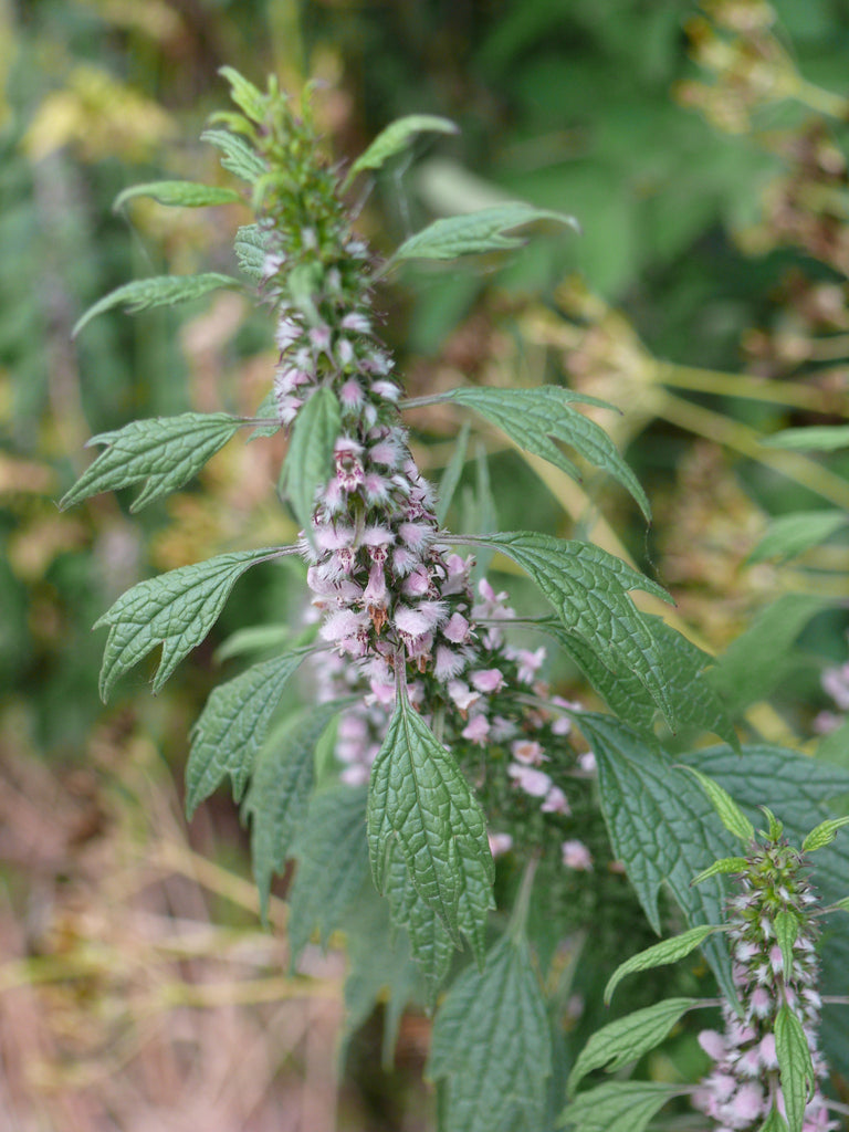 Motherwort (Leonurus cardiaca) Fresh Herb Leaf and Flowering Top