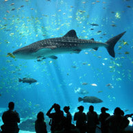 Celebrating International Whale Shark Day