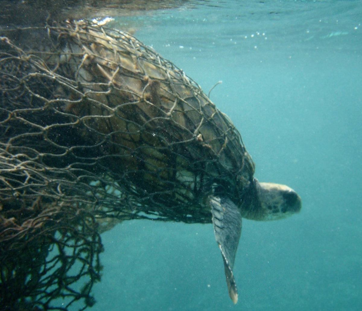 Sea Turtle Caught in Net Pollution