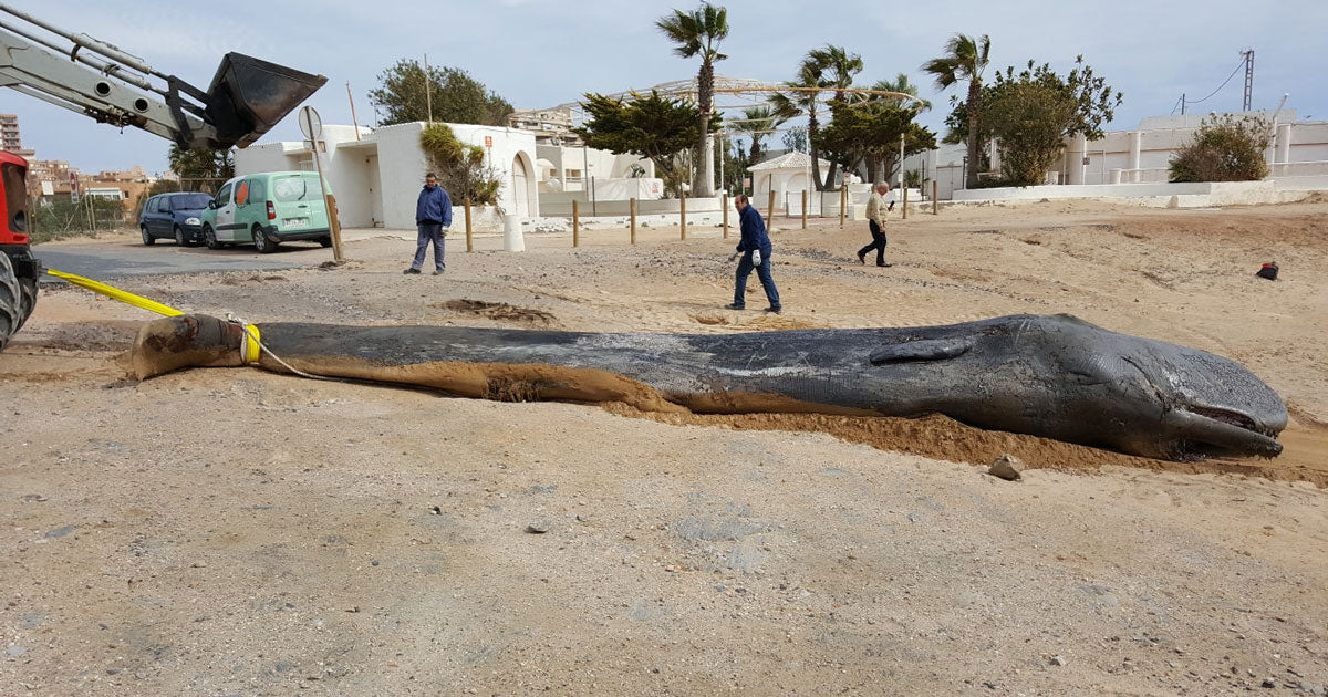 Sperm Whale found dead off Coast of Spain - Plastic Pollution