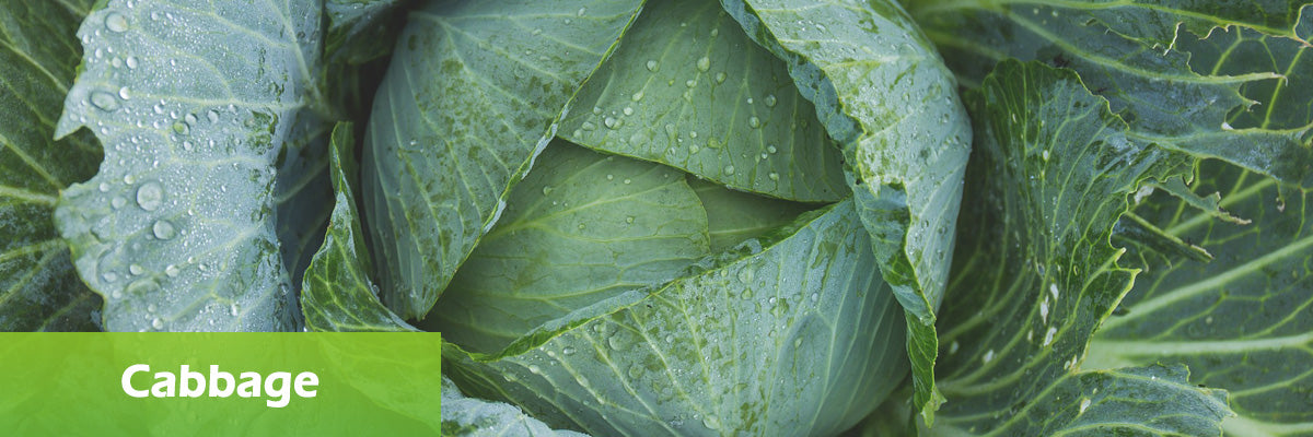 superfood cabbage