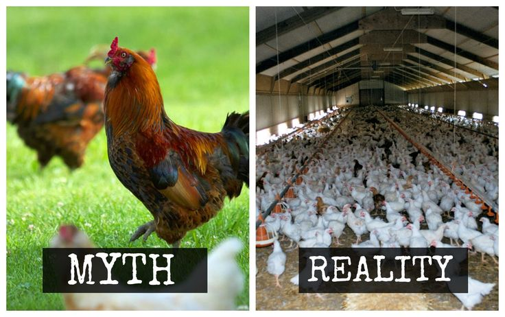free range chicken myth lie