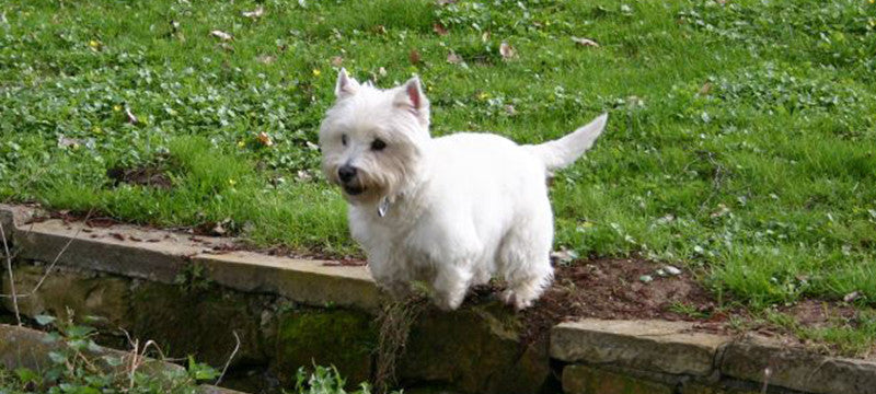 Healthy Critters Radio: Whole Food Transition, Ulcer Sensitivity, Hedwig's Here To Help, and Westies