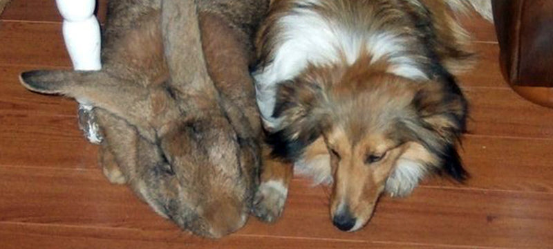 Healthy Critters Radio: Turmeric with Herb Lewis, Feeding Hard Keepers, the Flemish Giant Rabbit, Innovations