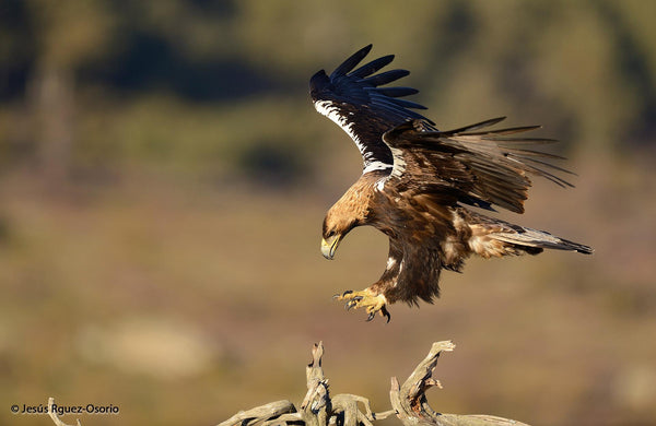 Spanish Imperial Eagle photo by Jesus Rguez Osorio