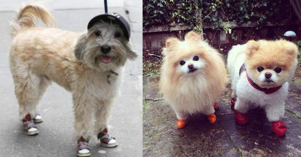 Have You Seen 10 Of The Most Adorable Dogs Wearing Shoes?