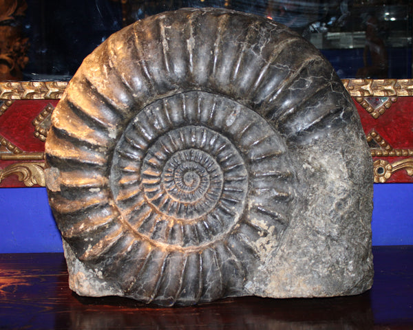 Ammonite found in the South of France