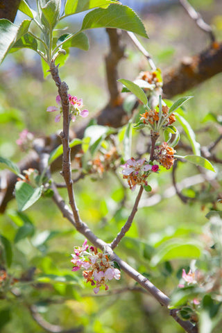 Print of apple blossoms in bloom | Fresh Food Prints