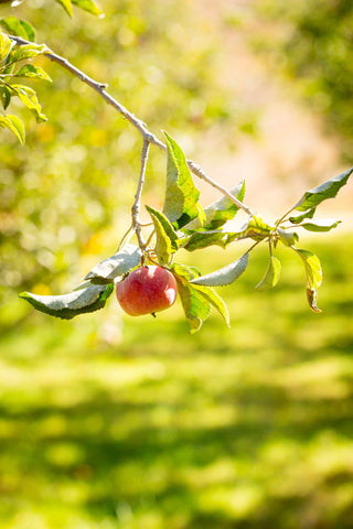Print of red apple growing | Fresh Food Prints