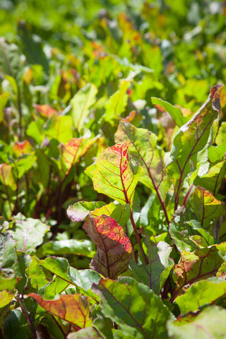 Print of baby beet greens growing | Fresh Food Prints