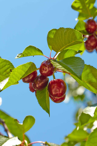 Print of Bing Cherries Growing | Fresh Food Prints