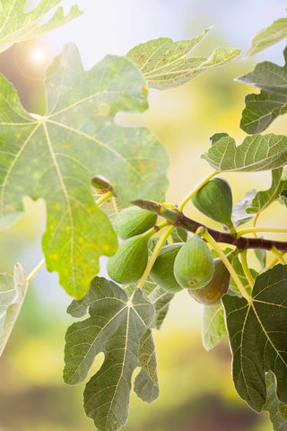 Print of black jack figs growing | Fresh Food Prints
