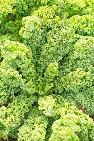 Print of Kale Growing | Fresh Food Stock
