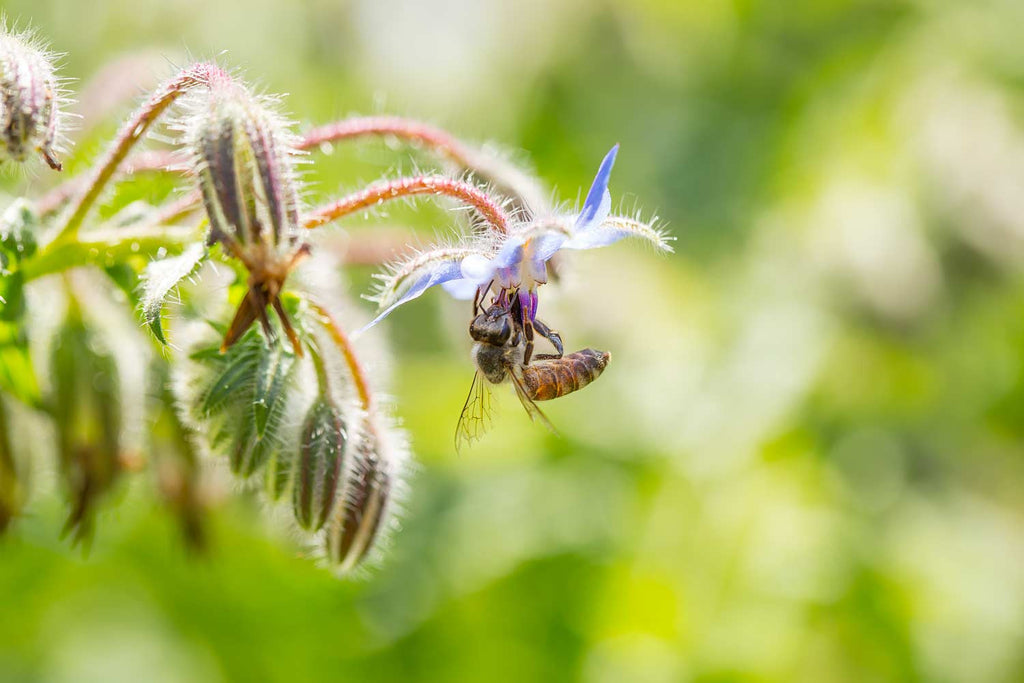 Print of borage with bee | Fresh Food Prints