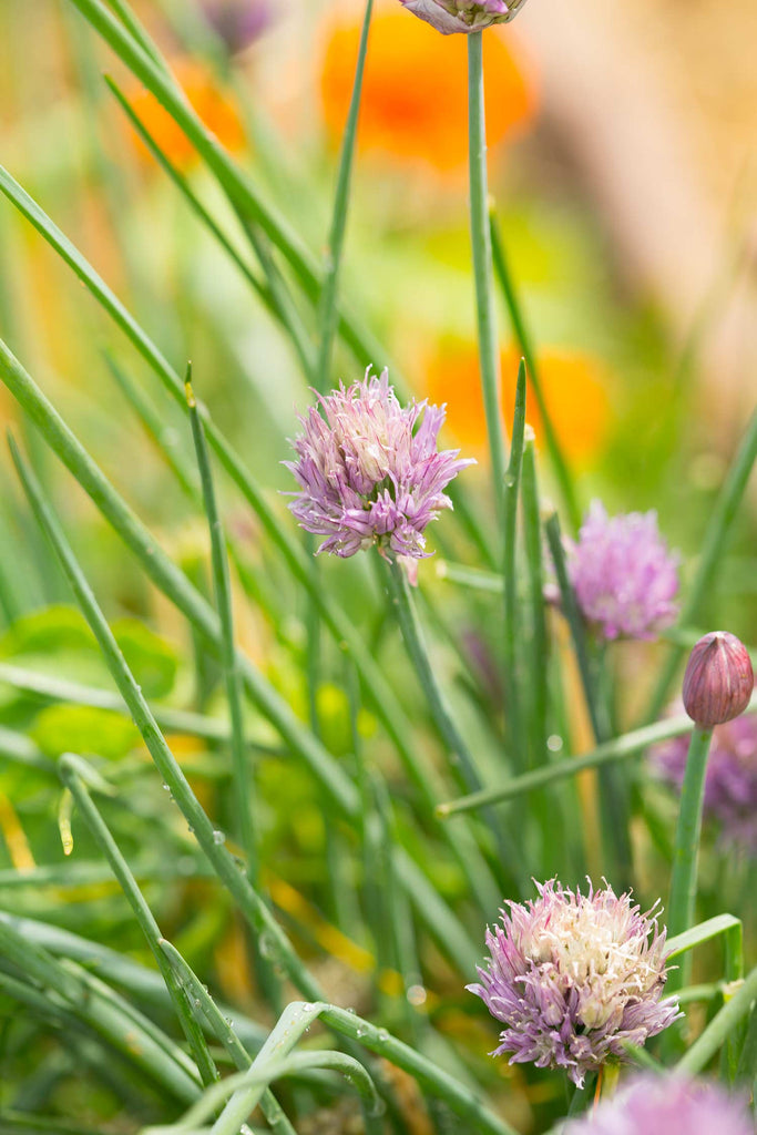 Print of chives growing | Fresh Food Prints