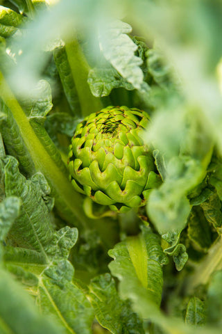 Print of globe artichoke plant growing