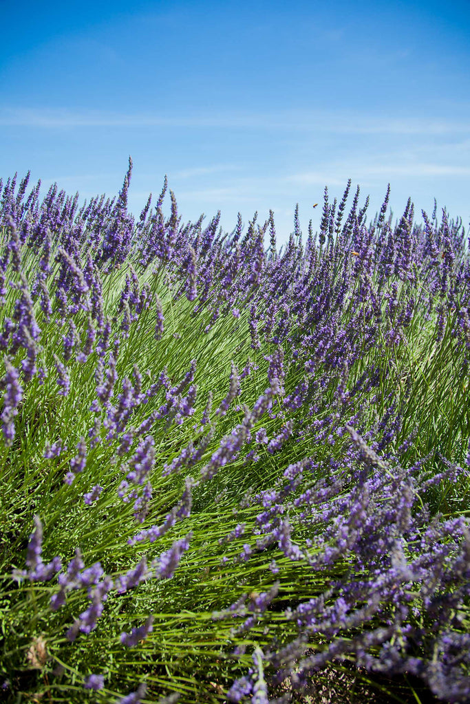 Print of Lavender Field with Blue Sky | Fresh Food Prints