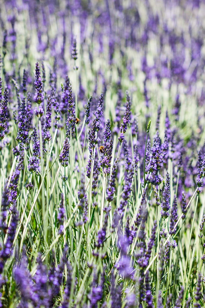 Print of Lavender Growing | Fresh Food Prints