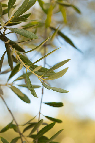 Print of olive tree branch | Fresh Food Prints
