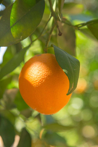 Print of an orange hanging from the tree | Fresh Food Prints