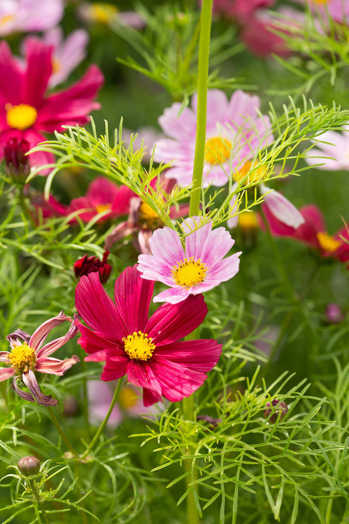 Print of Pink Cosmos Growing | Fresh Food Prints
