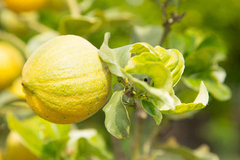Print of a pink lemonade lemon on the tree | Fresh Food Prints