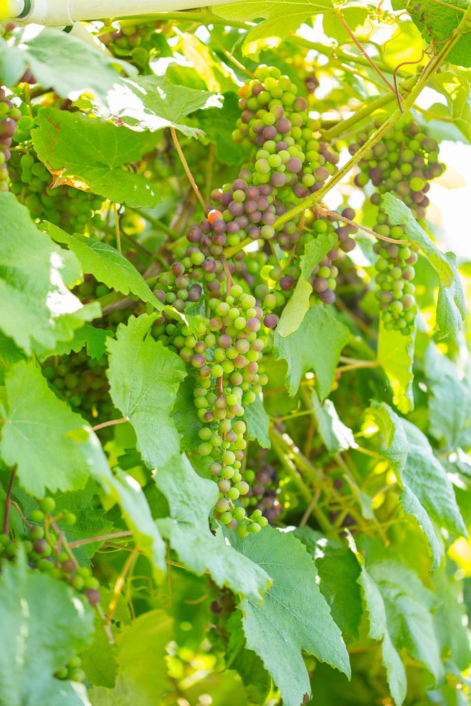 Print of green pinot noir grapes | Fresh Food Prints