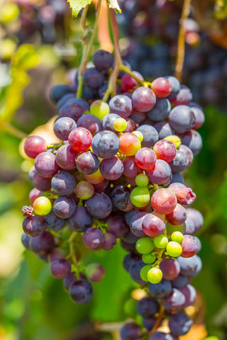 Print of pinot noir grapes | Fresh Food Prints