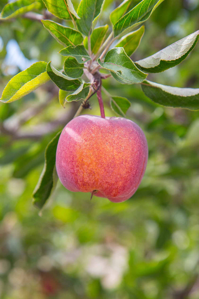 Print of red delicious apple growing | Fresh Food Prints