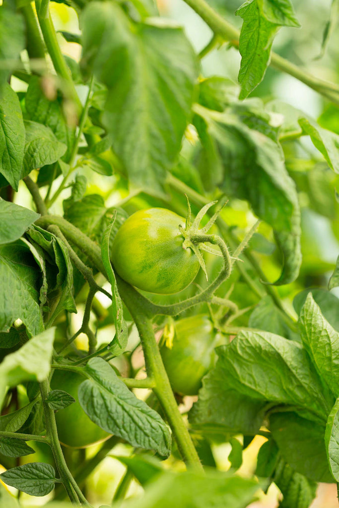 Print of young heirloom tomatoes growing | Fresh Food Prints