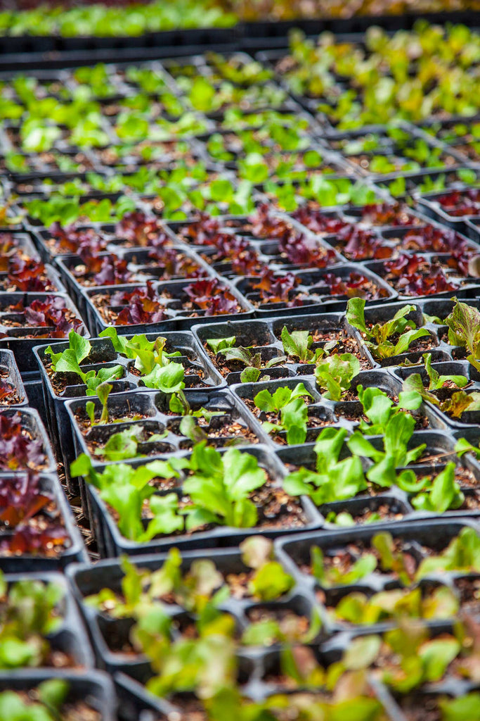 Print of young lettuces growing | Fresh Food Prints