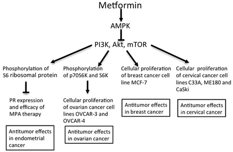 Metformin inhibits Cancer
