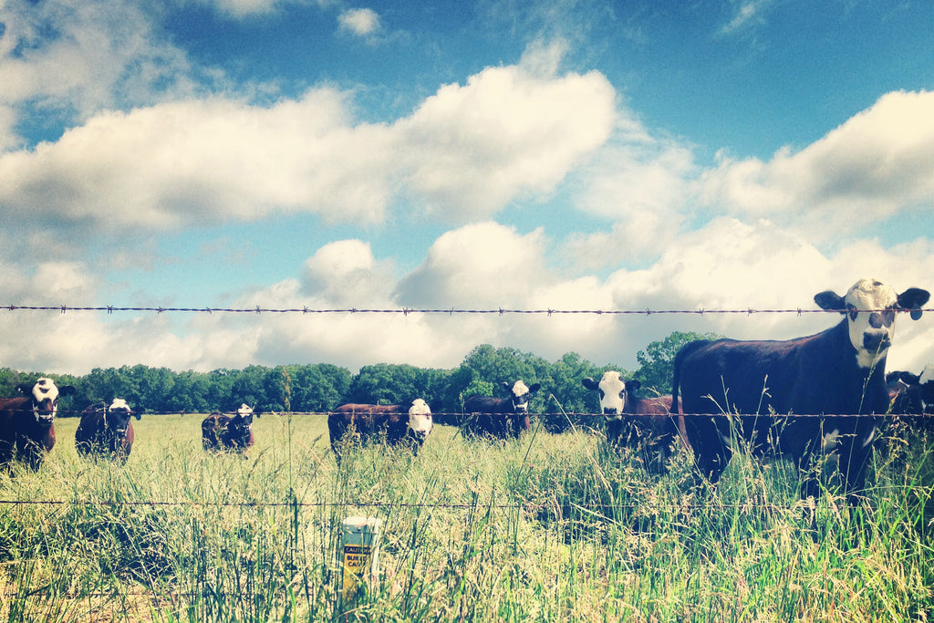 Cows in a field with blue skies and scattered clouds
