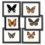 6 Assorted Butterfly Specimens On Cotton Backed Wooden Frame - Off The Wall Toys and Gifts