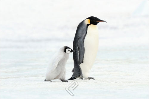 A Penguin & Its Baby Walking - Wildlife Poster, 24x36