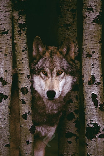 Lone Gray Wolf Through the Trees - Wildlife Poster, 24x36 - Off The Wall Toys and Gifts