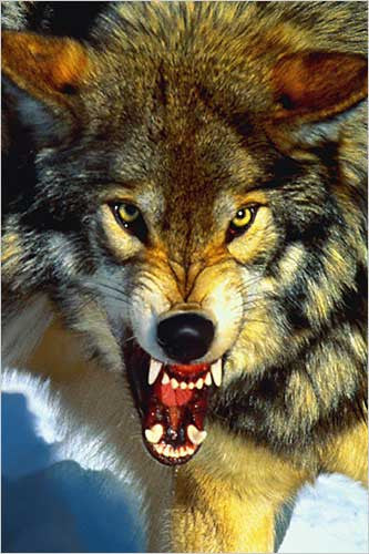 A Close-Up of the Gray Wolf - Wildlife Poster, 24x36