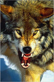 A Close-Up of the Gray Wolf - Wildlife Poster, 24x36 - Off The Wall Toys and Gifts